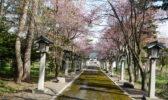 今年も桜が咲きました